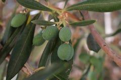 Oliv i naturalindetaljerna Arkivbild