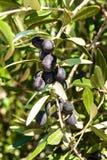 Oliv på ett träd på ön av Hvar Olivgrön odling Produktion av ätlig olja Jordbruk i det medelhavs- Arkivfoto