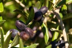 Oliv på ett träd på ön av Hvar Olivgrön odling Produktion av ätlig olja Jordbruk i det medelhavs- Arkivfoton