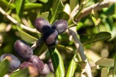 Oliv på ett träd på ön av Hvar Olivgrön odling Produktion av ätlig olja Jordbruk i det medelhavs- Fotografering för Bildbyråer