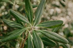 Oliv på olivträdfilial för kindtandnatt för el madrid tree för plats olive royaltyfri bild