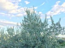 Oliv planterar med frukt, olivträdoleaen som europaeaen möblerar mat, olja och trä arkivfoto