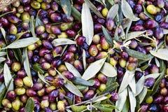 Oliv samlade i säckar i Peloponnese, Grekland Arkivbilder