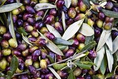 Oliv som tätt skördas och samlas i säckar upp Fotografering för Bildbyråer
