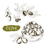 Oliv. Uppsättning av illustrationer Arkivfoton