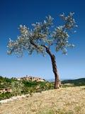 Oliva antica verde oliva antica Fotografia Stock