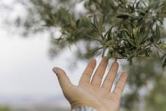 Oliva in di olivo immagine stock