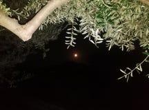 Oliva e luna piena Immagini Stock