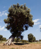 Oliva tree3 fotografia stock