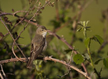 Olivaceous Warbler. An olivaceous warbler is perching on a tree branch stock photo
