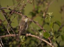 Olivaceous Warbler Стоковое Фото