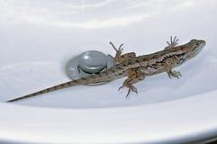 Olivaceus del Sceloporus del lagarto espinoso de Tejas atrapado en fregadero imágenes de archivo libres de regalías