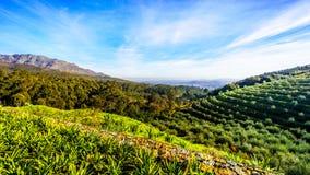 Olivares y viñedos rodeados por las montañas a lo largo del camino de Helshoogte Foto de archivo libre de regalías