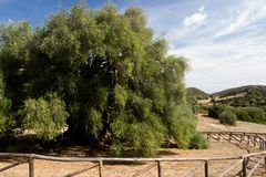 Olivastro Millenario - thousand years old tree. In Sardenia Sarnidia, Italy stock images