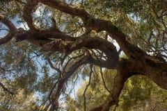 Olivastro Millenario - thousand years old tree. In Sardenia Sarnidia, Italy stock photos