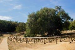 Olivastro Millenario - thousand years old tree. In Sardenia Sarnidia, Italy stock image