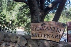 Olivastro Millenario - thousand years old tree. In Sardenia Sarnidia, Italy royalty free stock photos