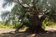 Olivastro Millenario - thousand years old tree. In Sardenia Sarnidia, Italy royalty free stock image