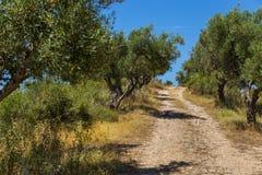 Olivdunge som lokaliseras i sydliga Albanien Royaltyfri Bild