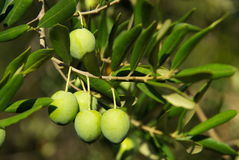 Olive 06 royalty free stock photo