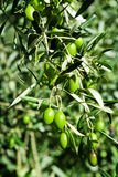 Olive. Branch with green s Stock Photography