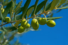 Olive. On branch on blue sky Stock Photos