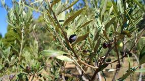 Olive lizenzfreie stockfotografie