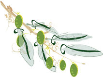 Olive. Illustration of an Olive branch Stock Photography