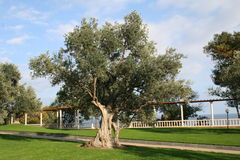 Olive. Tree n the seaside garden Stock Photo