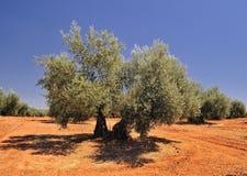 Olive. Image libre de droits