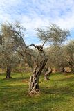 Olive. Montenegro Ulcinj olive tradition health royalty free stock photo