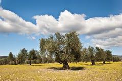 Olive Stockfotos