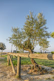 Olive. Is an olive tree at dawn juanto some wooden fences Royalty Free Stock Image