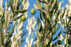 Olive Photo libre de droits