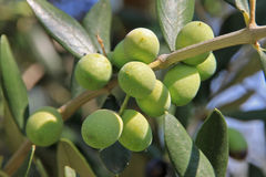 Olive Photographie stock