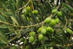 Olive 32. An olive branch bevore harvest Stock Photos