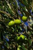 Olive 34. An olive branch bevore harvest Stock Photo