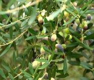 olive, Obraz Royalty Free