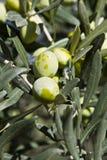 Olive Fotografia Stock Libera da Diritti