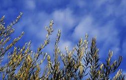 Olive Image libre de droits