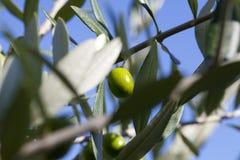 olive Image stock