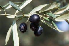 olive lizenzfreie stockfotos