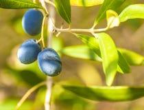 olive Photographie stock libre de droits