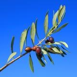 olive Photos stock