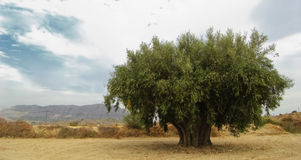 Olive. Ancient olive in south of Spain Stock Image