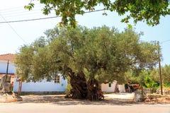 Olive antiche Immagine Stock