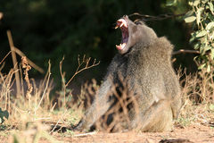 Olive Baboon. Male baboon yawning, showing off large canine teeth Royalty Free Stock Photos