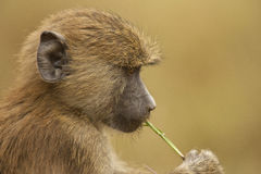 Olive baboon Stock Photo