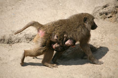 Olive Baboon Royalty Free Stock Photo