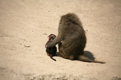 Olive Baboon. Young Olive Baboon at a german zoo Royalty Free Stock Photography
